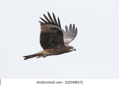 beautiful soaring black eared kite, winter visitor in Thailand