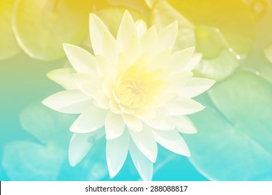 Beautiful soft color yellow and blue flowers backgrounds nature - Lotus