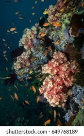 Beautiful soft corals of many colors grow on the reefs in Tubbataha.