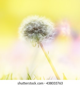 A beautiful soft dandelion with a pretty yellow background.  Soft blades of grass are seen in the foreground.