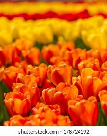 Beautiful soft focus vibrant orange and red tulips at Keukenhof Netherlands