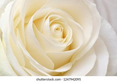 Beautiful soft fresh white rose close up. Macro nature composition.