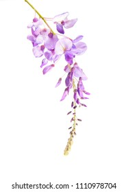 beautiful soft macro closeup of tender purple pink blue Wisteria flower branch with  blossoms buds isolated on white with space for text