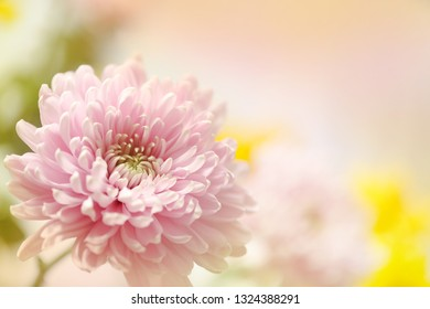 A beautiful soft pink flower with blurred flowers in the background.  A bit of yellow and green compliment the photograph.  A horizontal presentation with room for text on the blurred background.
