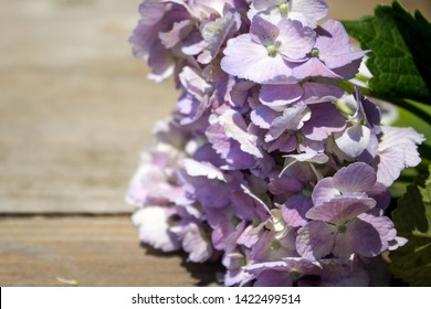 Beautiful soft pink hydrangea or hortensia flower close up. Rustic wood background