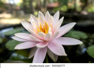 Beautiful soft pink lotus flower in the pond in the morning