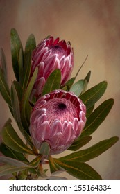 Mink protea images stock photos vectors shutterstock beautiful soft pink proteas in bloom also known as bearded sugarbushes the flower is mightylinksfo