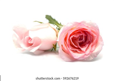 Beautiful soft pink roses isolated on white background