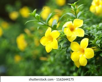 beautiful soft tiny leaves flowers looks like CAROLINA JESSAMINE (Gelsemium sempervirens) outdoor natural sunlight selective focus blur background