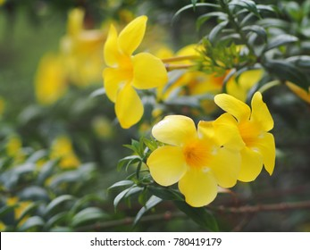 beautiful soft tiny leaves flowers looks like CAROLINA JESSAMINE (Gelsemium sempervirens) outdoor natural sunlight selective focus blur background