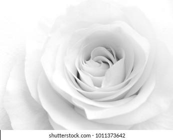 Beautiful soft white rose flower