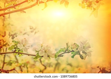 beautiful solitude branch of blossoming apple tree on blurred sunny foggy background in spring at sunrise.
