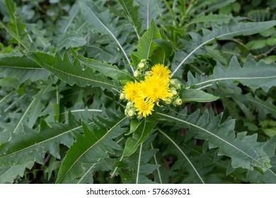 "Beautiful Sonchus congestus in tenerife""s nature"