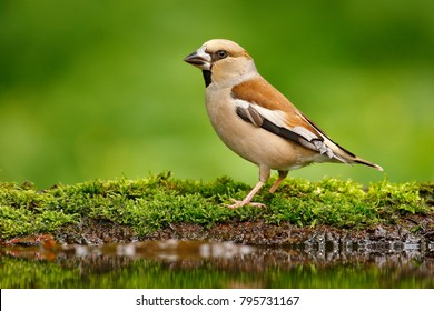 Beautiful songbird, Hawfinch, by the water, brown songbird sitting on mossy stone. Green clear background. Wildlife from Germany.