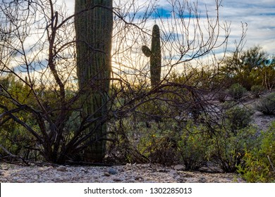 Beautiful Sonoran Desert landscape near sunset with cloudy skies and blue with partial clearing, green bushes and saguaro cactus, Carnegiea gigantea. Pima County, Tucson, Arizona. January of 2019.