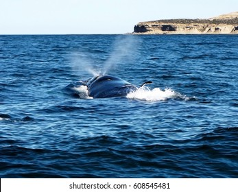 Beautiful southern right whale sighting to the surface and blowing water into the air in Puerto Madryn, Chubut, Argentina.