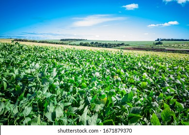 beautiful soy plantation (Glycine max) and in the background a wonderful blue sky
