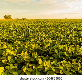 A beautiful soybean field at dawn.