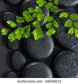beautiful spa concept of green twig Adiantum fern on zen basalt stones with dew, closeup