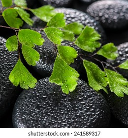 beautiful spa still life of green twig Adiantum fern on zen basalt stones with dew, closeup
