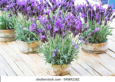 Beautiful Spanish/French lavender's flowers in bamboo pot.