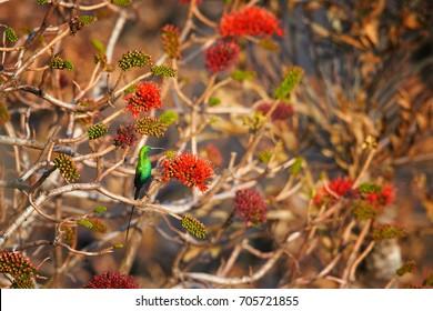 Beautiful, sparkling green african bird, Malachite sunbird, Nectarinia famosa, male perched on red flowering bush, lit by early morning sun. Drakensberg mountains, KwaZulu Natal, South Africa.
