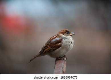 beautiful sparrow sitting on the fence close up