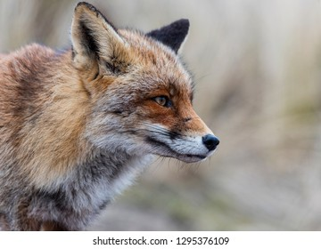 A beautiful specimen of fox looks for food at the last moment of the day