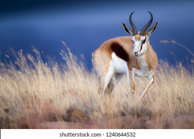 Beautiful specimen of South Africa's national animal, the Springbok, grazing in tall grass against a dark stormy sky