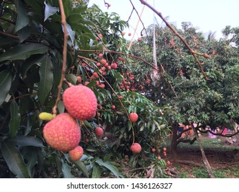 A beautiful specimen tree with its shiny leaves and attractive fruit lychee.
