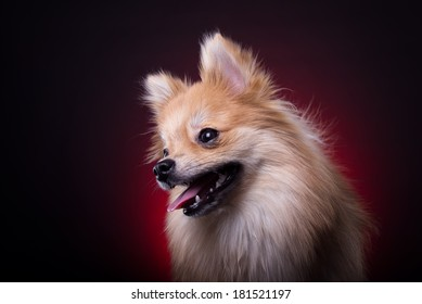 Beautiful spitz dog. Animal portrait. Stylish photo. Red background. Collection of funny animals