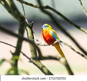 The beautiful splendid parakeet in a tree