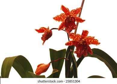beautiful spotted flower to orchids