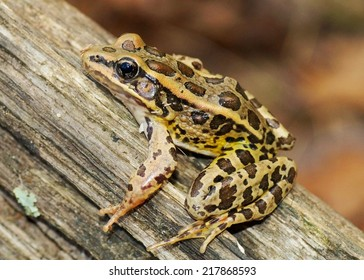 A beautiful spotted frog, about to jump off a log - Lithobates palustris