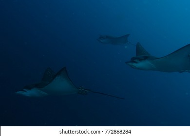 Beautiful spotted manta ray eagle ray floating through the deep ocean