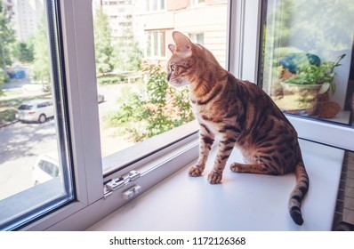 A beautiful spotted pure Bengali cat breed sits on the windowsill against the background of an open window in the apartment, taking care of pets