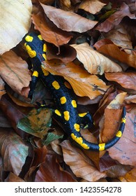Beautiful spotted salamander surrounded by leaves on the forrest floor