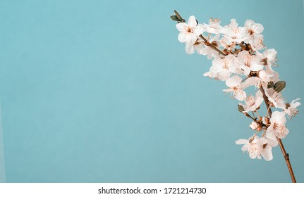 Beautiful spring apple plum cherry Japanese sakura blooming tree branch in blossom with flowers macro on light blue sky background. Nature revival concept. Easter greetings card free text copy space