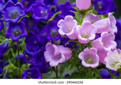 Beautiful spring background with Canterbury bellflower