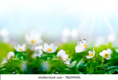Beautiful spring  background with white butterfly in flight and flowers anemones in forest on nature. Delicate elegant dreamy airy artistic image harmony of nature, free space for text.