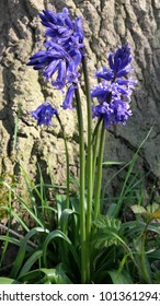 Beautiful Spring Bluebell