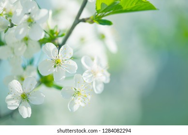 Beautiful spring branches of white cherry flowers against background of blue sky