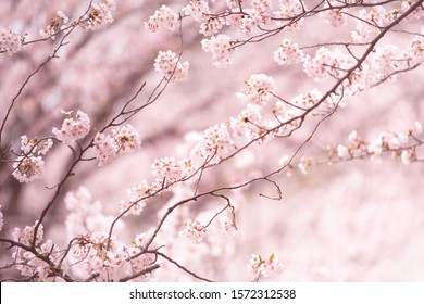 Beautiful spring cherry blossom with extending and connecting branches. Pastel pink background. Shallow depth of field.