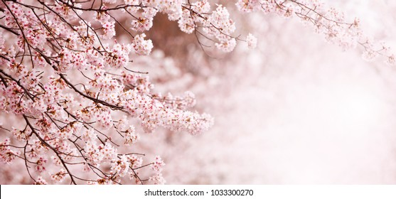 Beautiful spring cherry blossom with fading in to pastel pink and white background. Shallow depth of field. Wide header dimension.