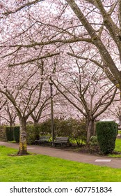 Beautiful Spring Cherry Tree Pink Blossoms, Benches and Park