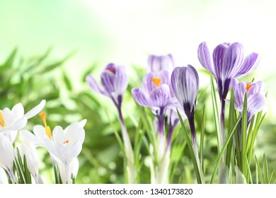 Beautiful spring crocus flowers on blurred background, space for text