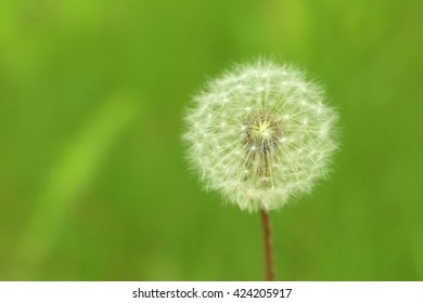 Beautiful spring dandelion flower outdoors, close up