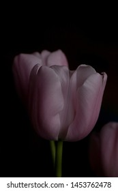 beautiful spring delicate pink tulip on a black smooth background