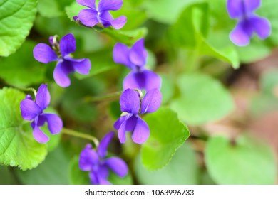 A beautiful spring flower in the forest, early spring.Herbaceous perennial plant - Viola odorata (wood violet, sweet violet, english violet, garden viole)