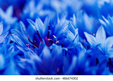 Beautiful spring flowers Blue Centaurea cyanus on background. Blue flowers pattern. Macro photo.
